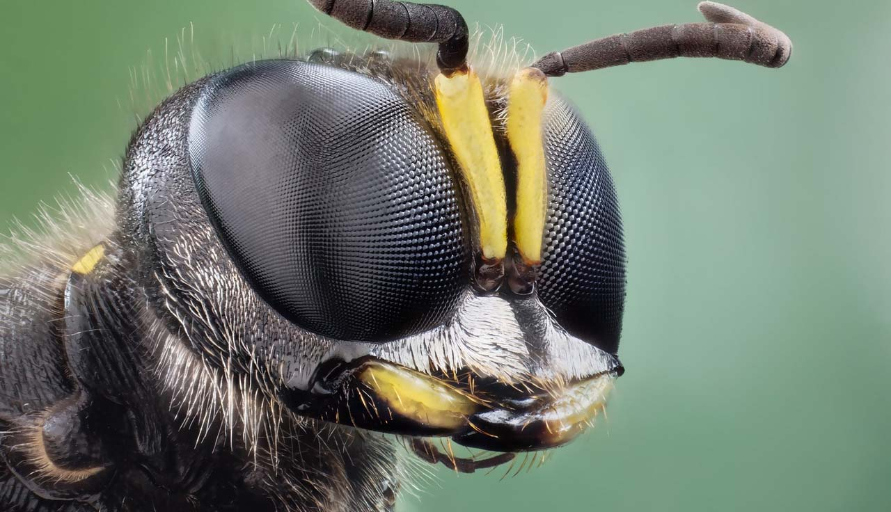 bee eye close up